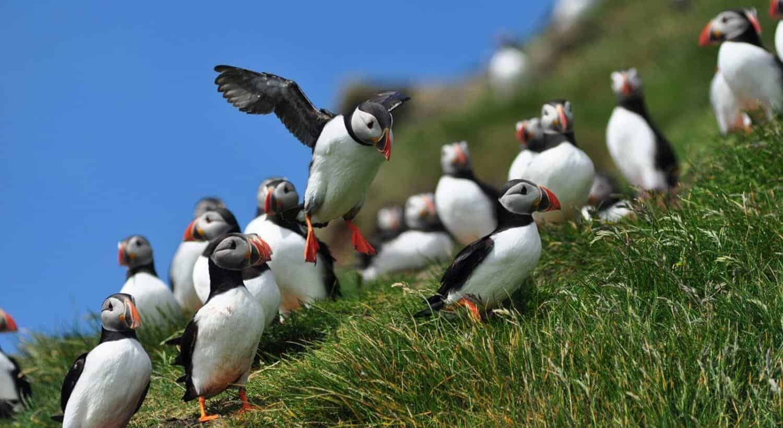 Færøerne Søpapegøjer
