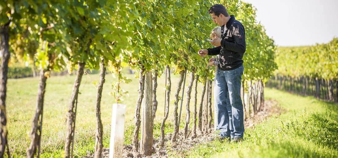 Wagram vinproduktion på øverste hylde, her topproducenten Gregor Nimmervoll